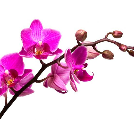 Фотообои Веточка розовой орхидеи 5981