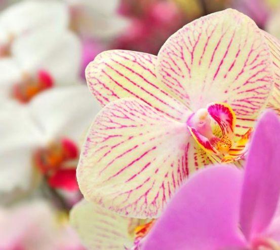 Фотообои Орхидеи в крапинку  8120