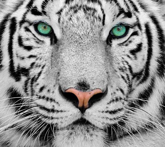 Фотообои Красавец тигр 8270