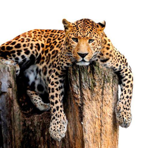 Фотошпалери Леопард 19570