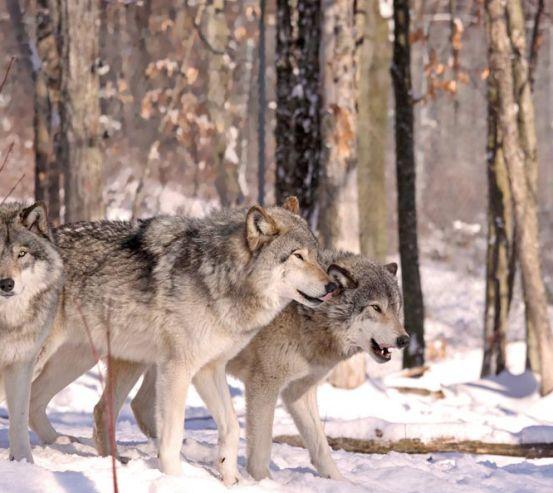 Фотошпалери вовки в лісі 20483
