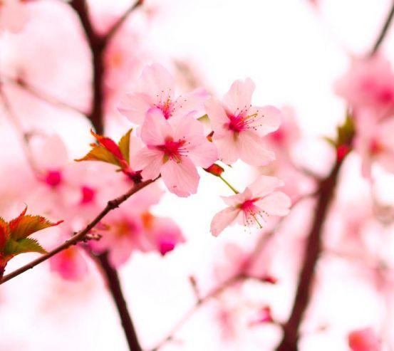 Фотообои Цветы вишни весной 3143