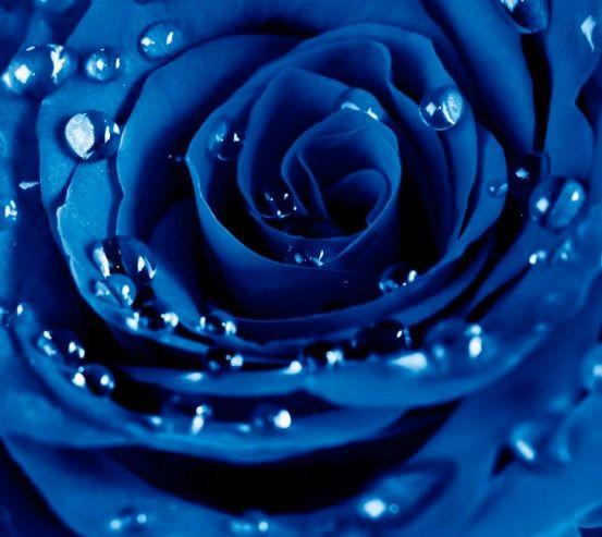 Фотообои Роза ярко-синяя 13994