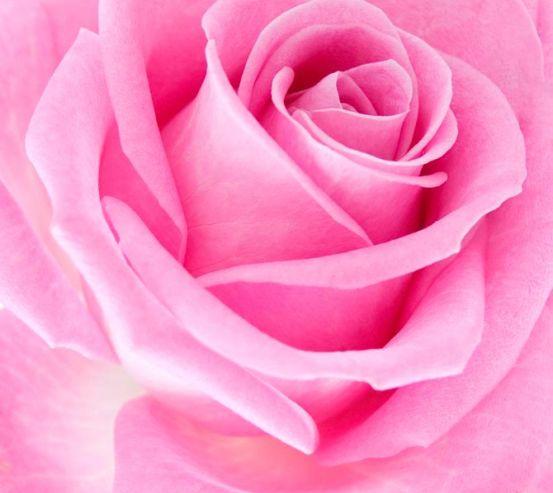Фотообои Макро-съемка розовой розы 10015