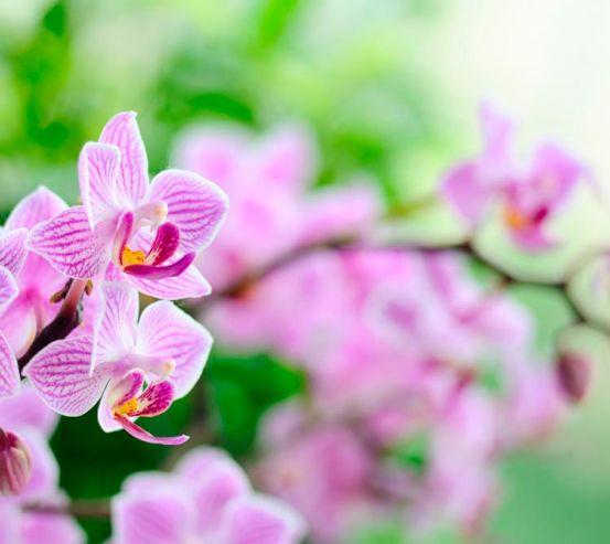 Фотообои Орхидеи сиреневые цветут 1409