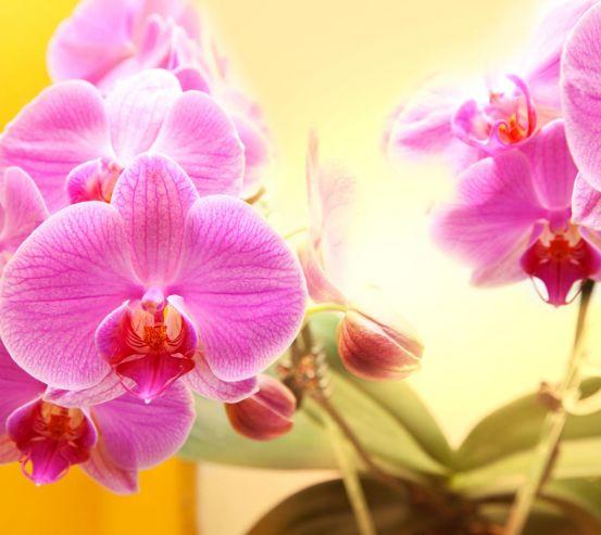 Фотообои розовые орхидеи на желтом фоне 20515