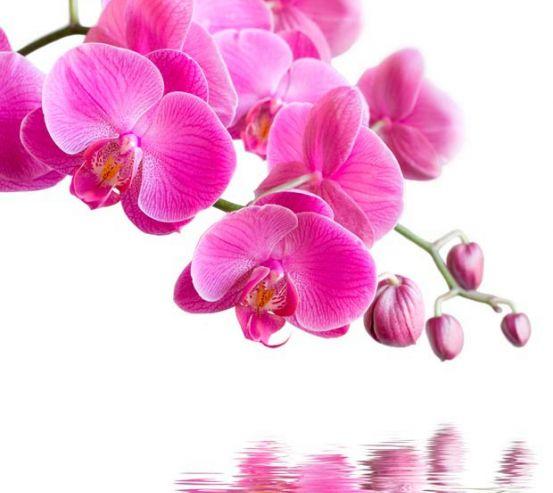 Фотообои Орхидеи малиновые 2252