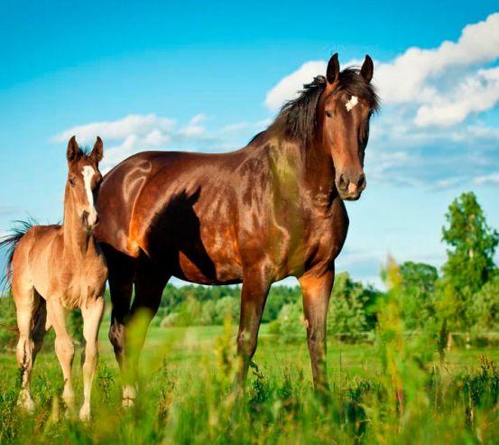 Фотообои Лошадь с жеребенком 11876