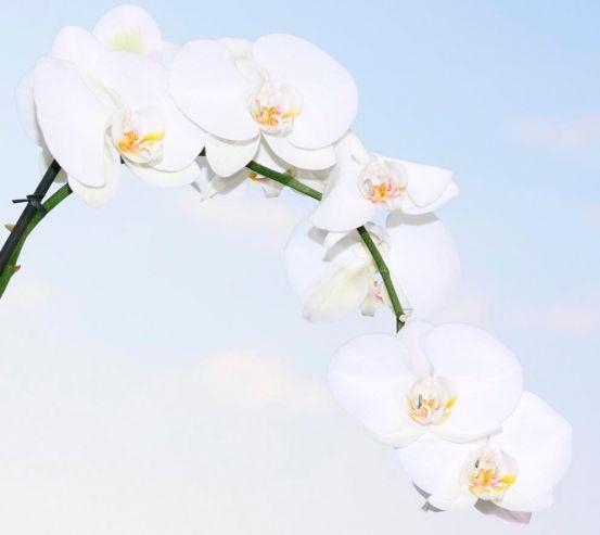 Фотообои Ветка белоснежных орхидей 7398
