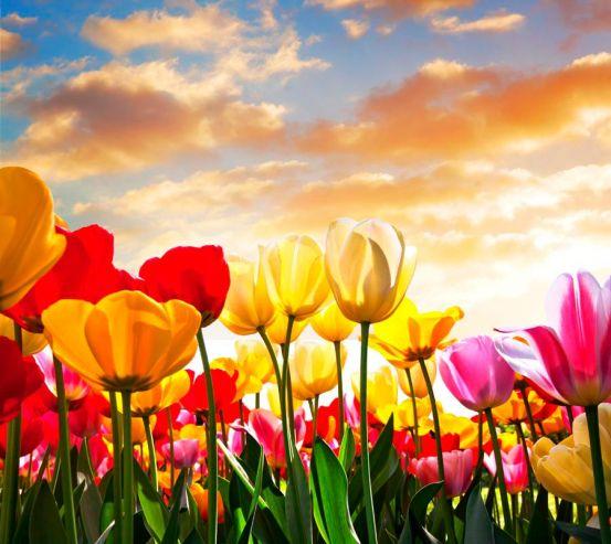 Фотообои Тюльпаны в закате 7420