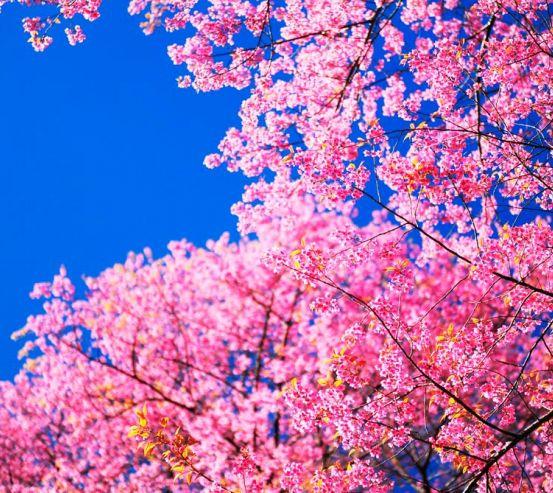 Фотообои Сакура цветет 11904