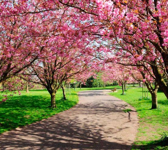 Фотообои Цветущие вишни 10370