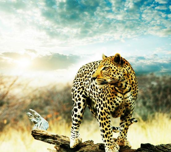 Фотообои Наблюдающий гепард 10651