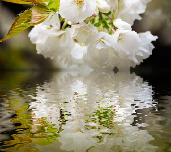 Фотообои Цветы абрикоса над речкой 4162