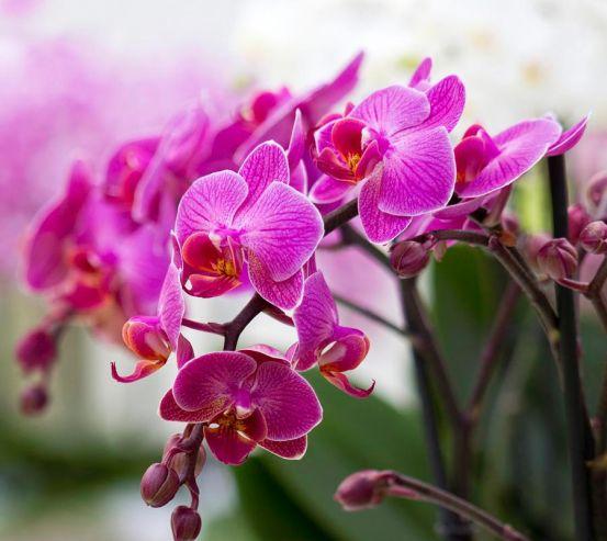 Фотообои Орхидеи соцветие 6036