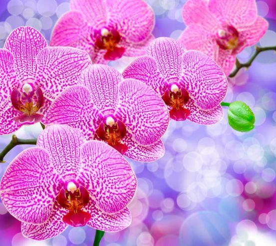 Фотообои Орхидеи распустились розовые 7776