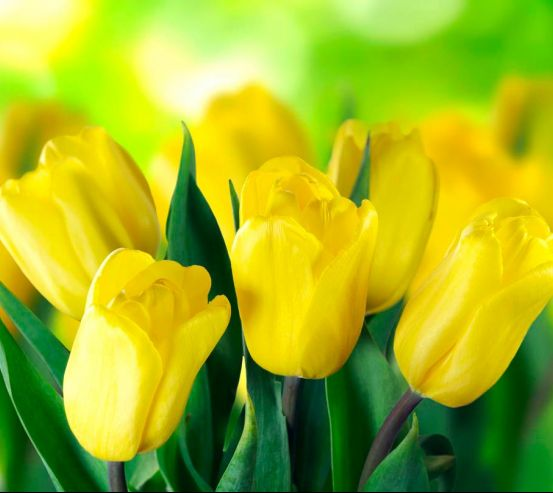 Фотообои Ярко-желтые тюльпаны 12084