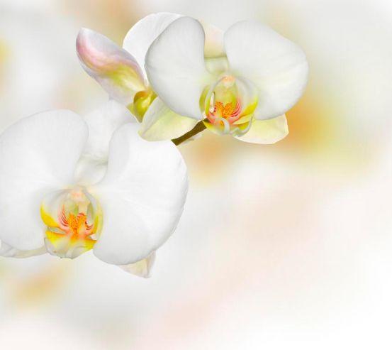 Фотообои Орхидеи белые с желтым 7855