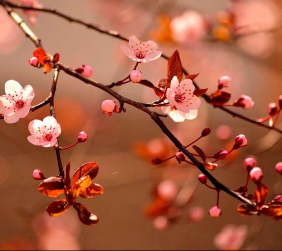 Фотообои Дерево вишни цветет 7358
