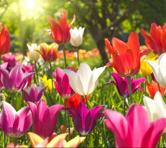 Фотообои Остроконечные тюльпаны 5890
