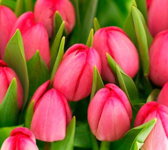 Фотообои Тюльпаны розовые 8422