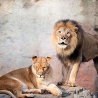 Фотообои Львы