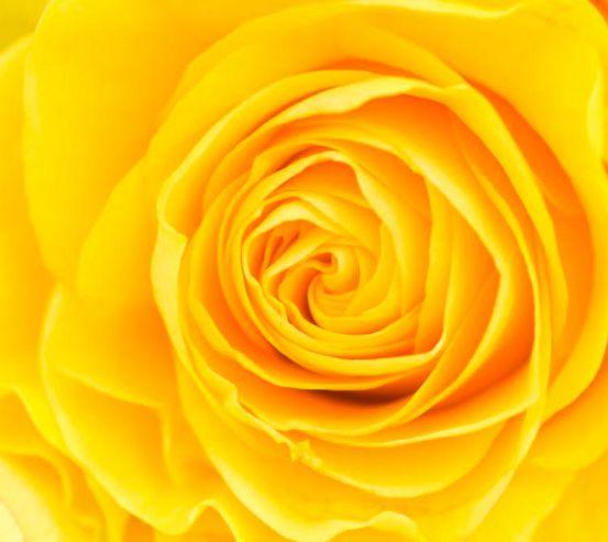 Фотообои Желтая роза крупным планом 10422