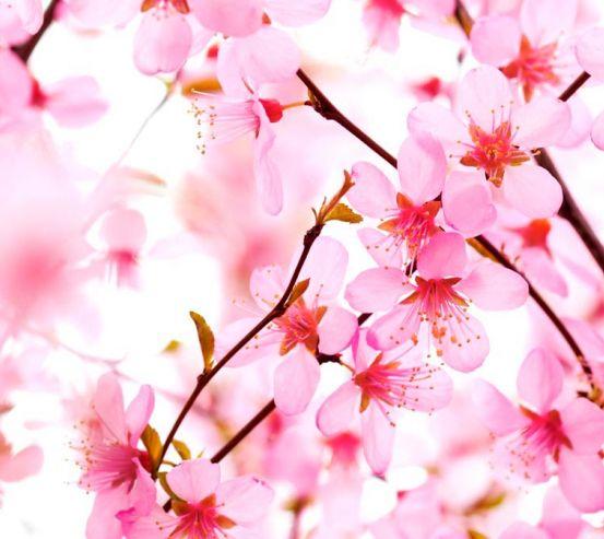 Фотообои Вишневые цветки распустились 3979