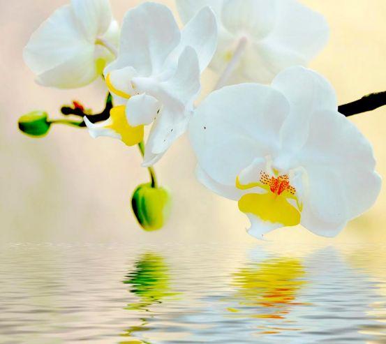 Фотообои Белоснежные орхидеи в воде 3016