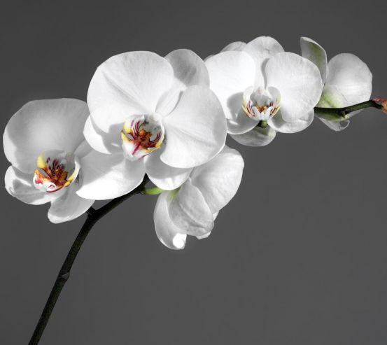 Фотообои белая орхидея на сером фоне 20309