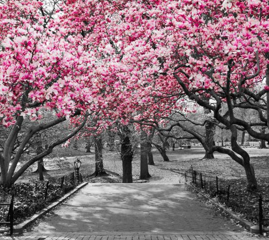 Фотошпалери Рожеві дерева в парку 13782