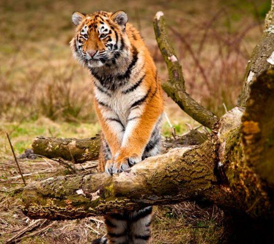 Фотообои Удивленный тигр 0428