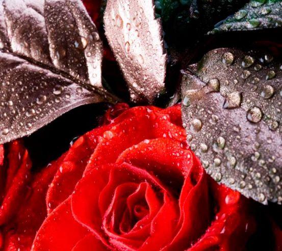 Фотообои Алая распустившаяся роза 5038