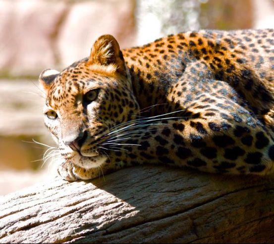 Фотообои Мечтающий гепард 0451