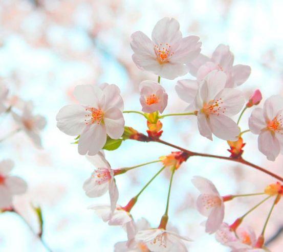 Фотообои Цветет абрикос весной 3166