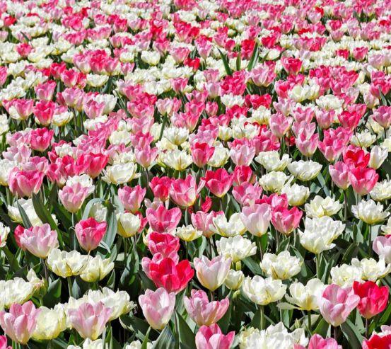 Фотообои Поле разноцветных тюльпанов 5401