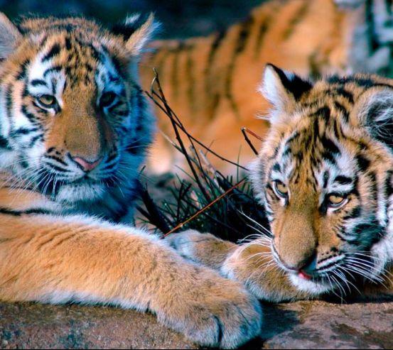 Фотообои Два тигра 0452
