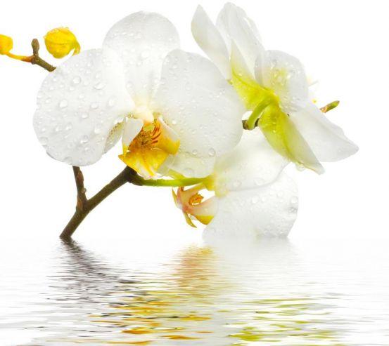 Фотообои Белоснежная орхидея в воде 5122