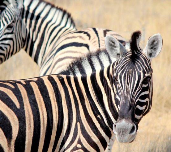 Фотообои Настороженные зебры 1162