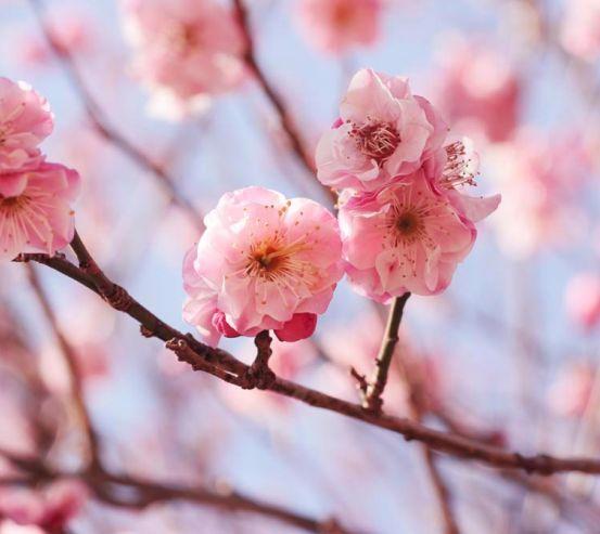 Фотообои Розовые вишневые соцветия 4079