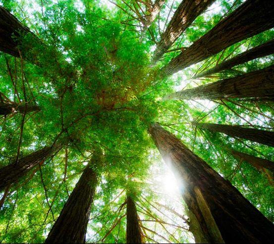 Фотообои Деревья, вверх 0858