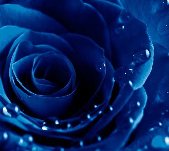Фотообои Синяя роза с росой 6068
