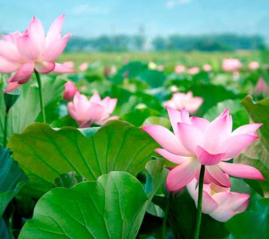 Фотообои Нежно-розовые кувшинки 1494