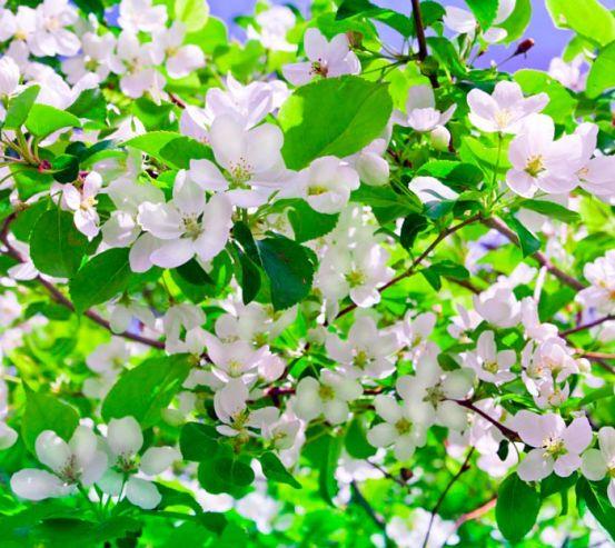 Фотообои Абрикос в цвету 8528