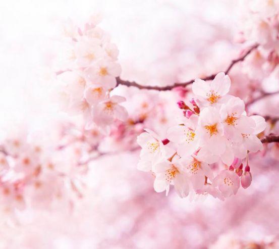 Фотообои Весной цветущая вишня 1677