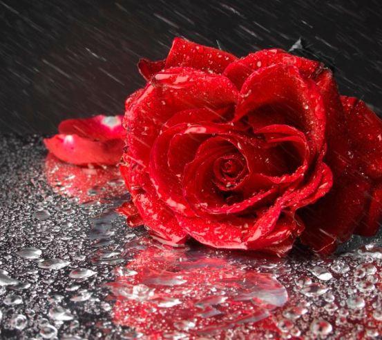Фотообои Бардовая роза 3032