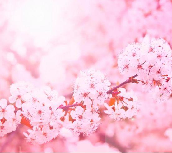 Фотообои Розовый вишневый цвет 4104