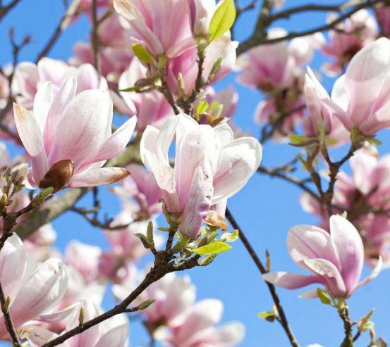 Фотообои Цветущий кипарис розовый 12642