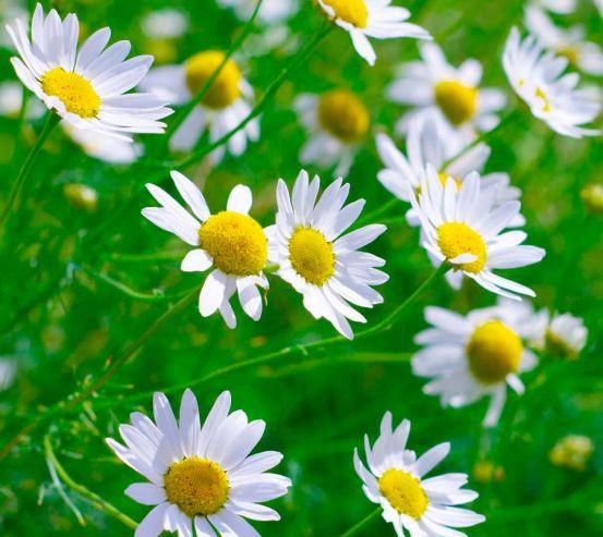 Фотообои Степные ромашки белоснежные 5517