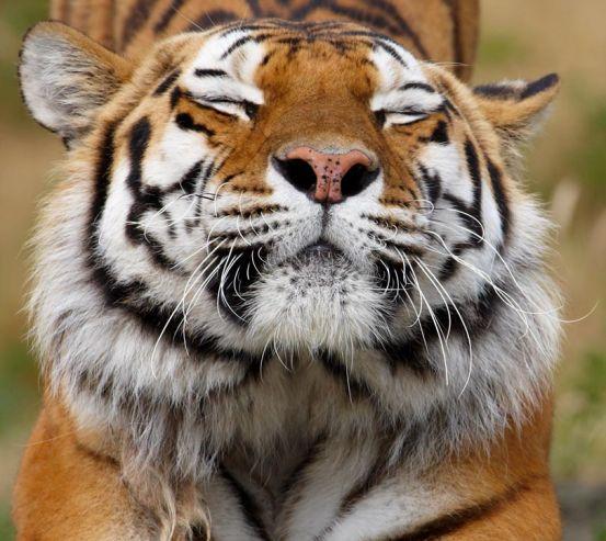 Фотошпалери тигр потягується 20379